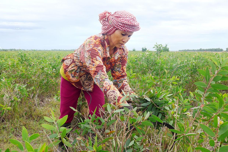 Cajeput – Bio-Anbaupartner Kambodscha