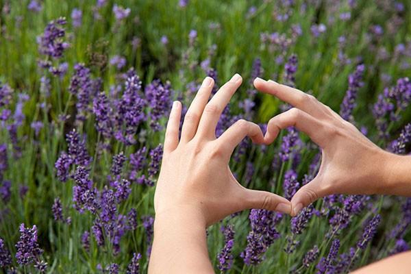 Lavendelanbau